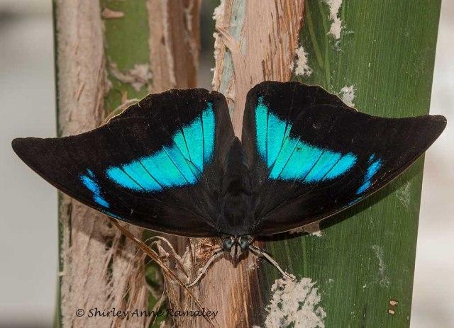 Butterfly 5 BUGS