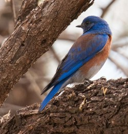 Bluebird at Coon's Bluff Feb 2012 BIRDS