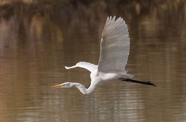 Egret in Flight BIRDS