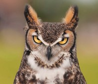 Great Horned Owl NATURE