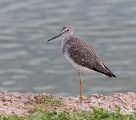 Greater Yellowlegs BIRDS