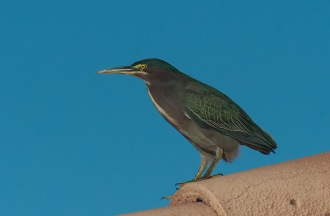 Green Heron BIRDS