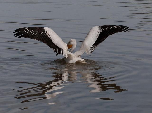 GWR Pelican BIRDS