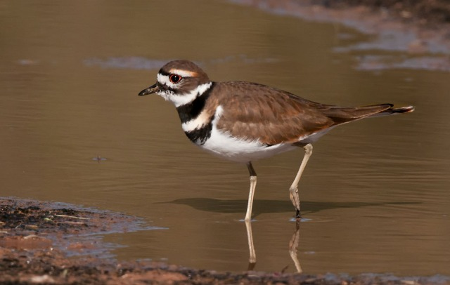 Killdeer MAIN