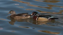 Wood Duck Pair NATURE AND SW