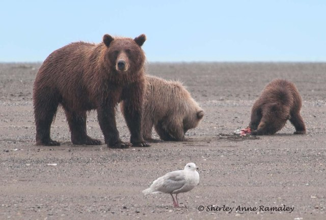 Bears of Salmon Creek-348