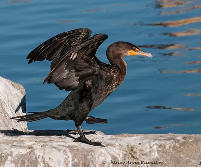 Arrowhead cormorant BIRDS & BLOG