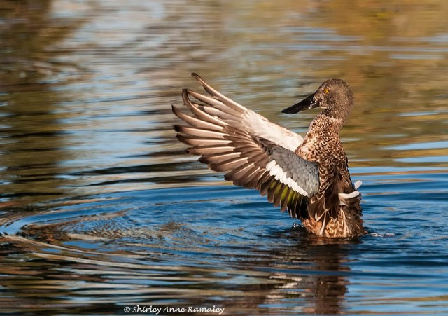 Female Shoveler BIRDS& NATURE
