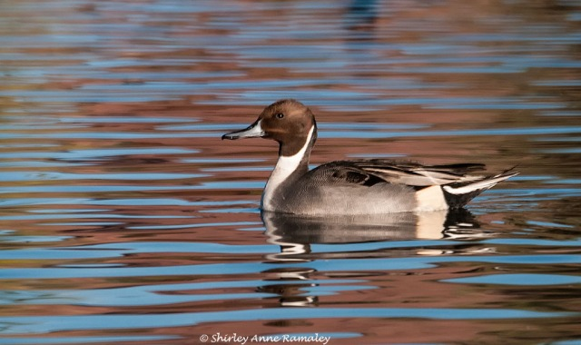 Pintail BIRDS & COVER