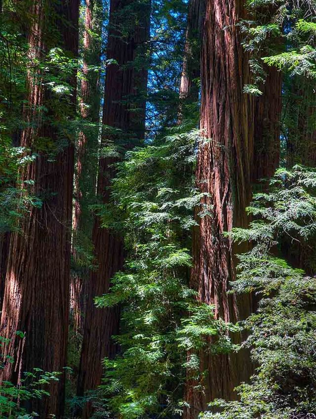 Redwoods NATURE