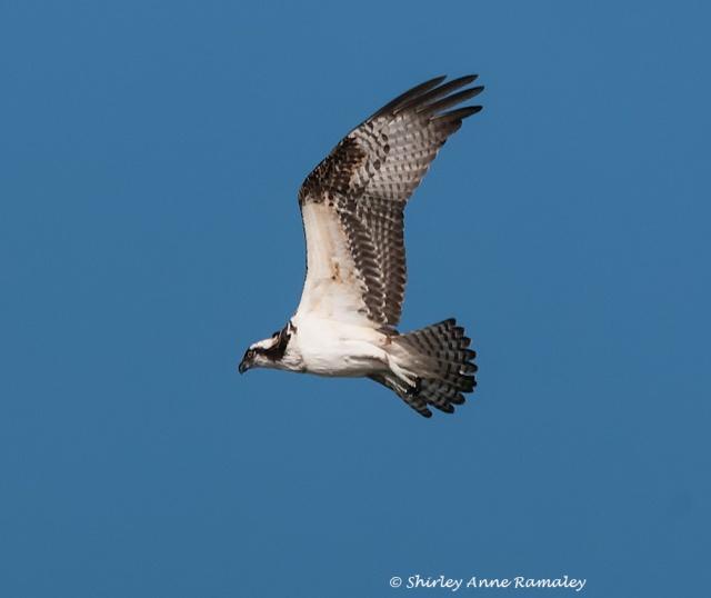 Tres Rios Osprey BIRDS