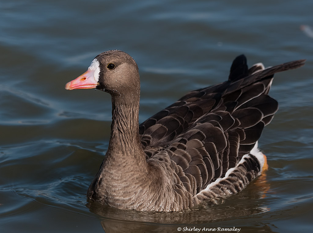 Great White Fronted Goose Paintings