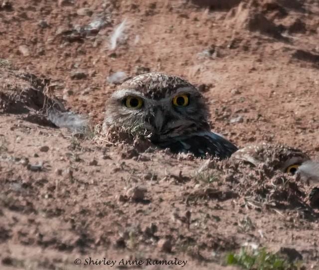 Owl 3 BIRDS