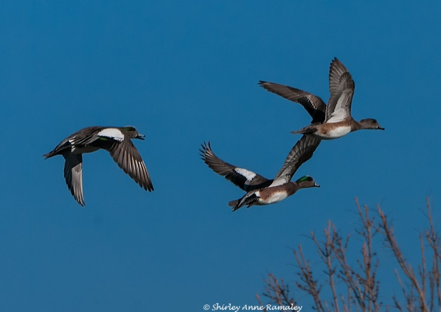 Wigeons Fllight BIRDS & WIN