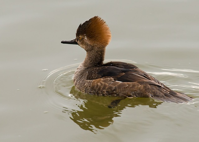 Young Merganser Drake BIRDS 7 NATURE