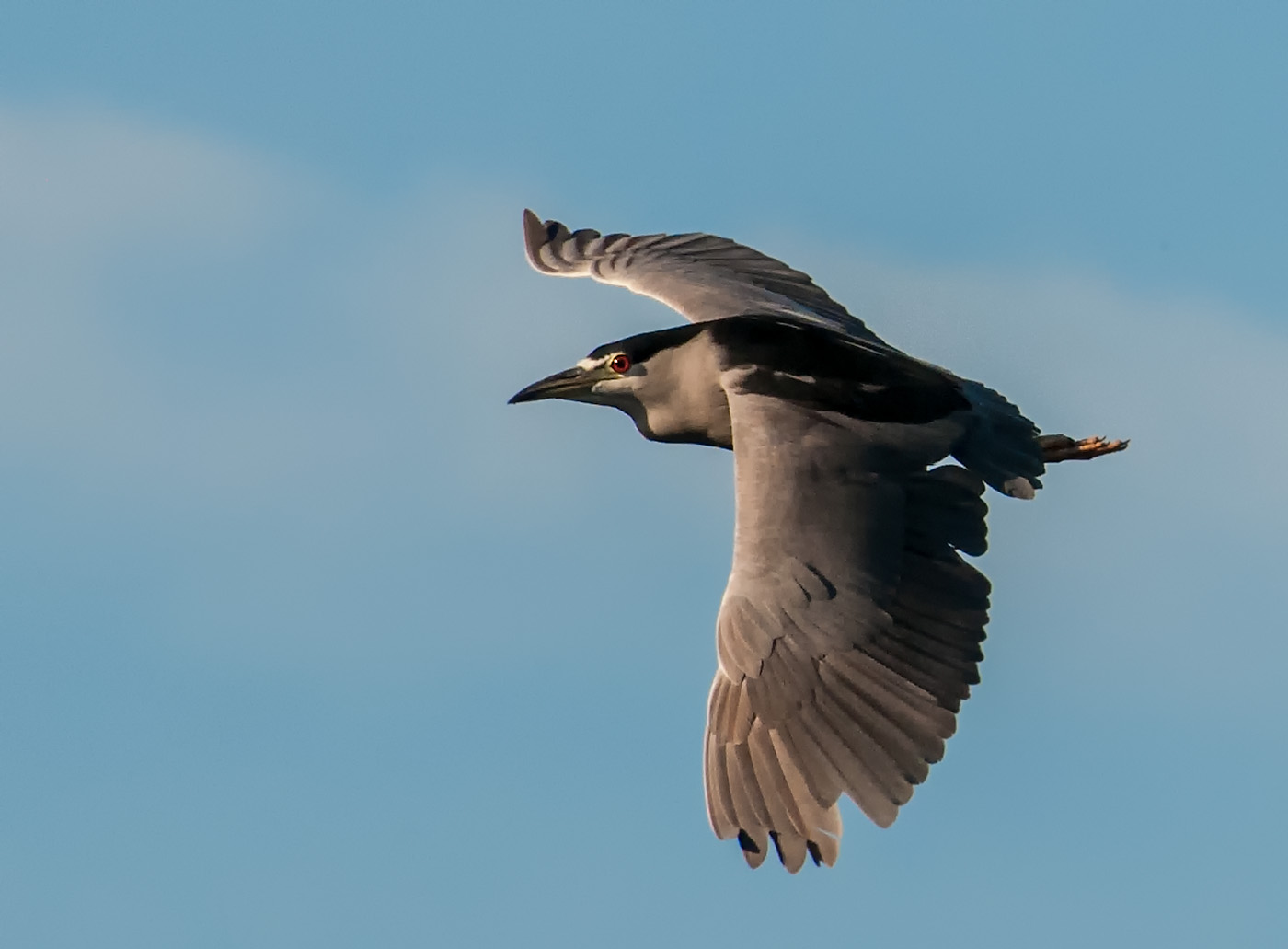 Night heron in flight - photo#9