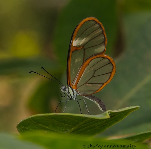 Glasswing MAIN & NATURE