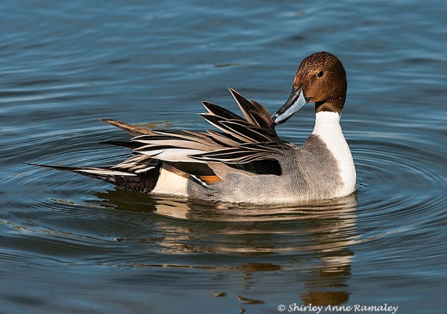 Pintail grooms MAIN & BLOG