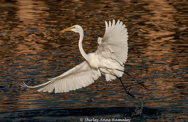 Arrowhead Egret BIRDS & MAIN & WILD