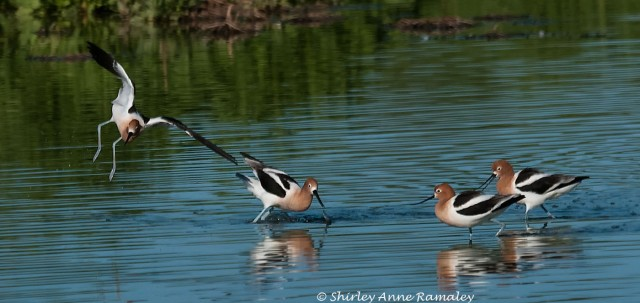 Breeding Avocets WIN