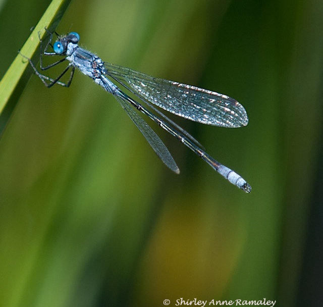 Damselfly BUGS & WIN