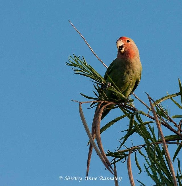 Lovebird at Garden MAIN & BIRDS