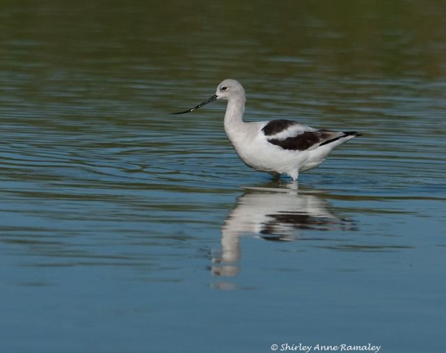 Avocet in non-breeding colors & BIRDS