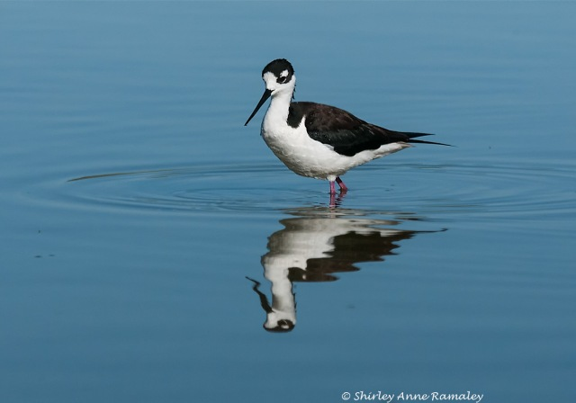 Female Stilt