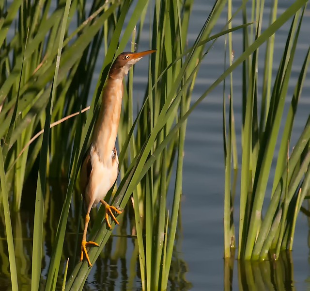 Least Bittern 4-18-14 On The Water's Edge WIN AND TIMELINE