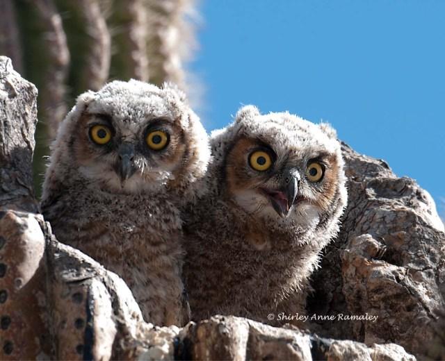 owls Legends BIRDS