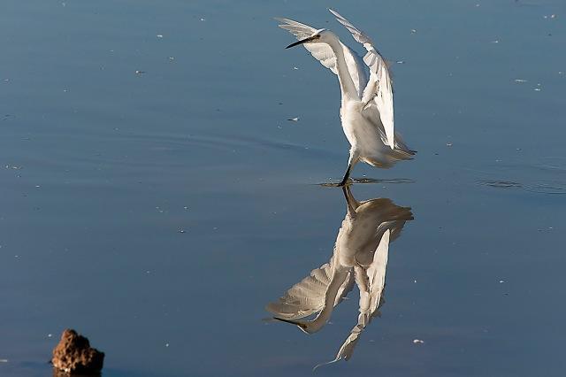 Egret landing at GWR MAIN