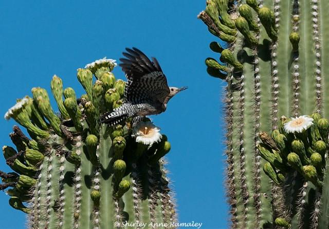 Gila on Saguaro BIRDS & MAIN & NATURE