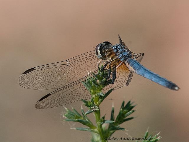 Tres Rios Dragonfly 0745