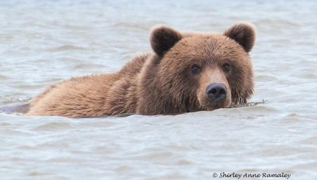 Bears of Salmon Creek-782 NATURE WORLD & WIN