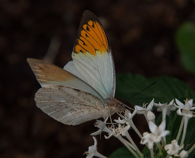 Butterfly 5 MAIN