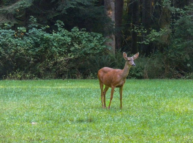 deer in meadow WIN &  WILD MAMMALS & MAIN & BLOG
