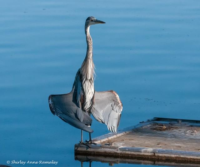Great Blue  BIRDS & BLOG