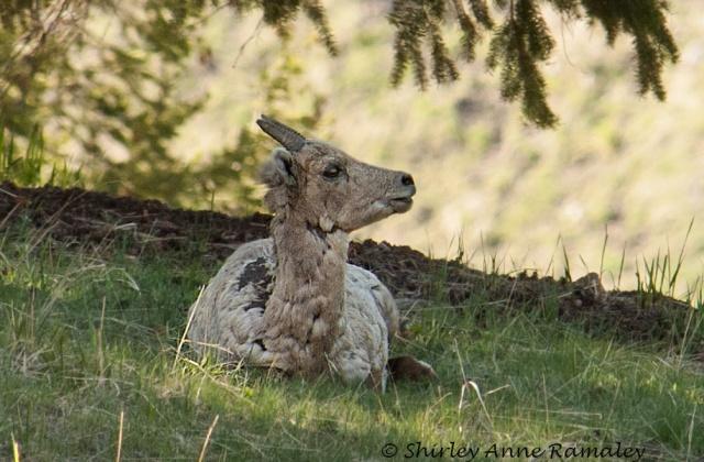 Lone Mtn Bighorn ewe WILD MAMMALS & BLOG