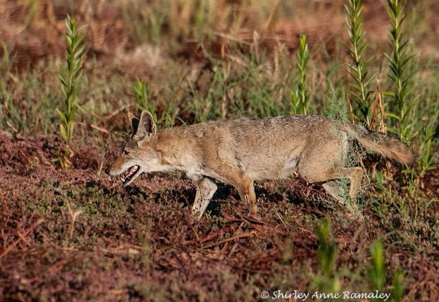Coyote 4 BLOG