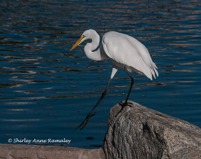 Egret BIRDS & BLOG