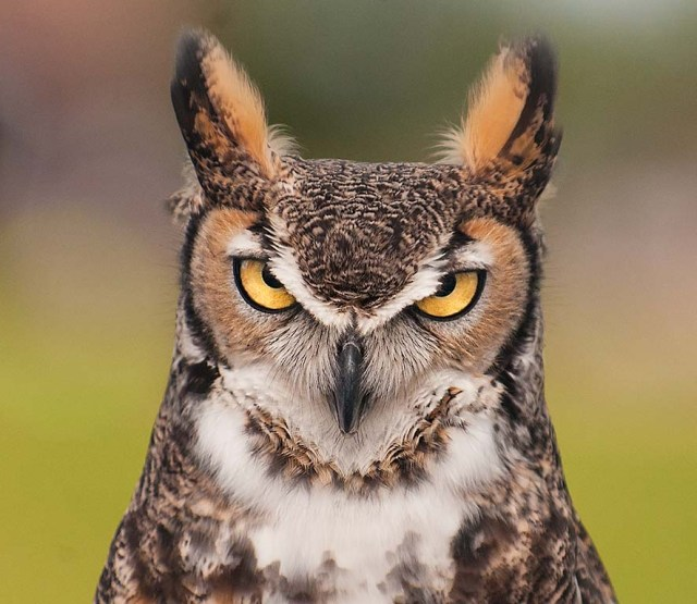Great Horned Owl NATURE & WILD & BIRDS & BLOG & WIN & PHOTOS