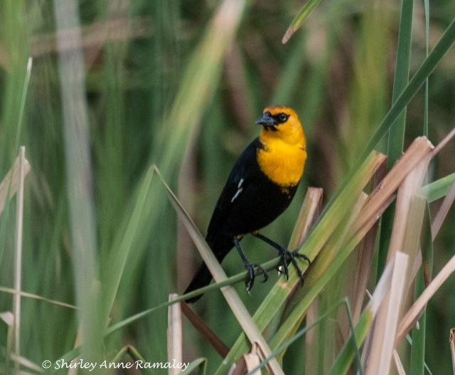 Tres Rios Blackbird BIRDS