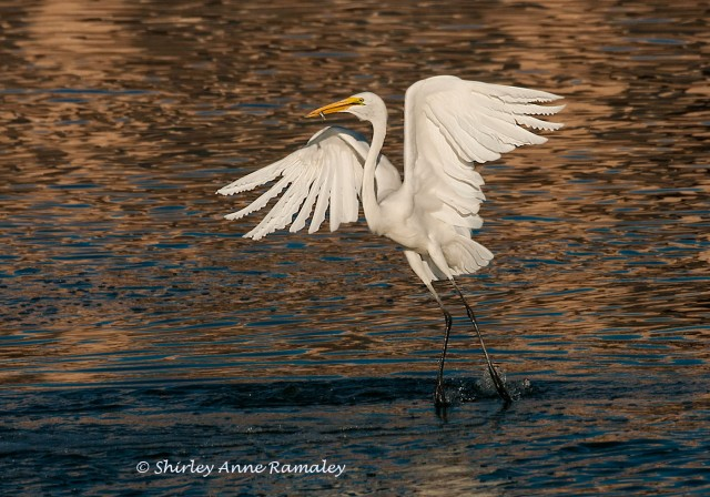 Egret 3 WIN  & BIRDS & BLOG