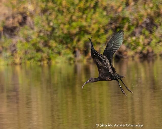 Ibis in flight BIRDS & BLOG