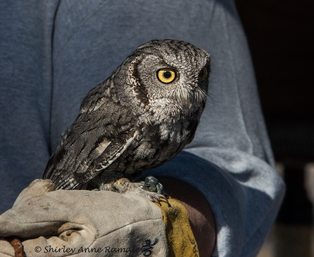 Screech Owl BIRDS & NIKON & BLOG