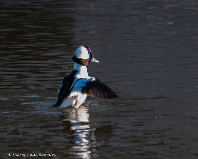 Bufflehead BIRDS & BLOG