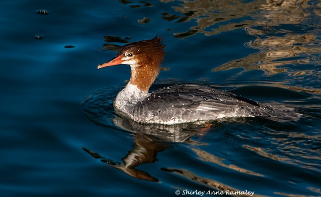 Female Common Merganser BLOG