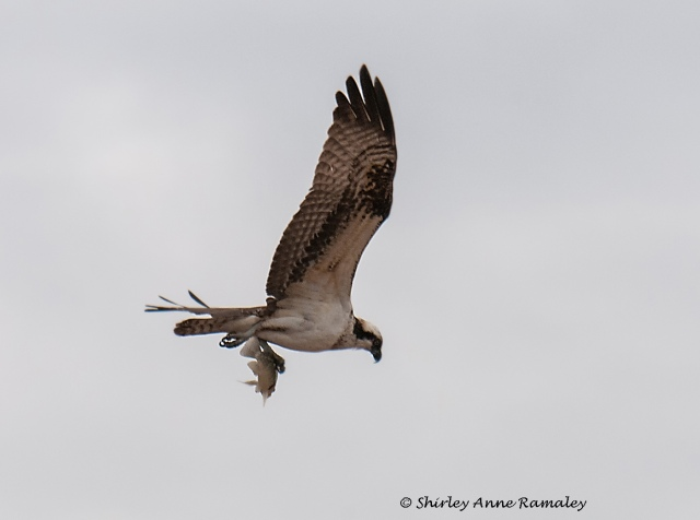 Osprey 1 BLOG