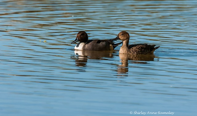 Pintail Couple 1 BLOG