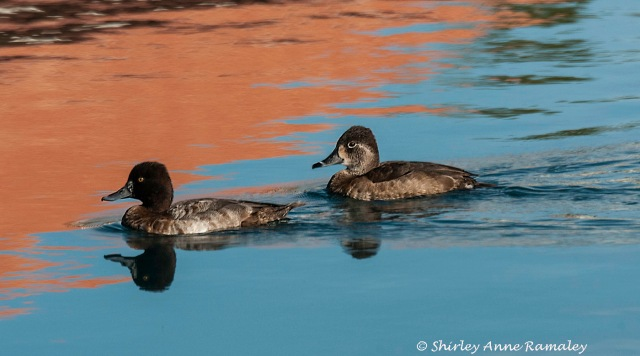 Female Scaup and Ring-necked BIRDS & BLOG